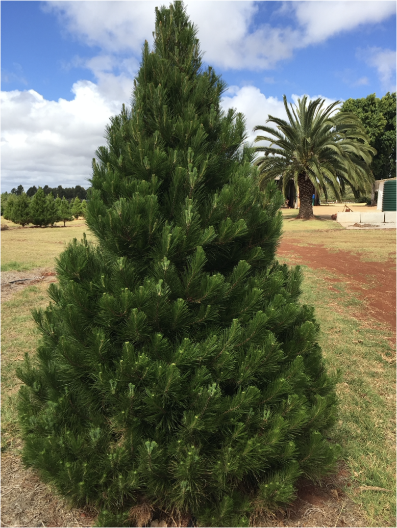 Farm Fresh Christmas Trees cut and delivered to you